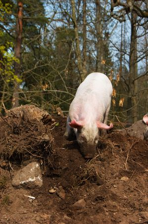 Little funny dirty piglet Stock Photo