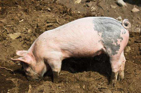 grunter: Little piglet Stock Photo