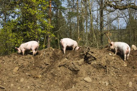 Three little dirty piglets Stock Photo - 4751729