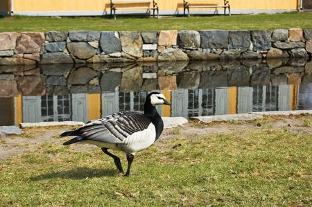 Canadian goose on a walk Stock Photo - 4751723