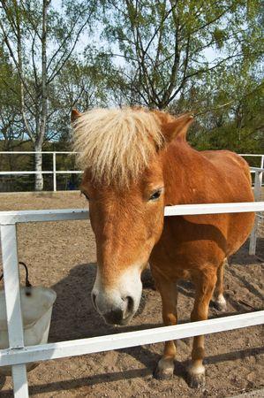 Portrait of nice fjord horse photo