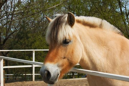 norwegian: Nice fjord horse portrait Stock Photo
