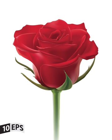 rose bud: Red rose isolated on white background  illustration