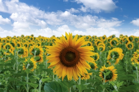 Sunflower in the field Stock Photo - 15396765