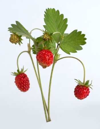 wild strawberry: Wild strawberry on white