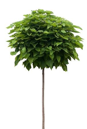 catalpa: Catalpa tree isolated on white Stock Photo