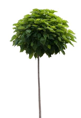 catalpa: Tree isolated on white. Catalpa