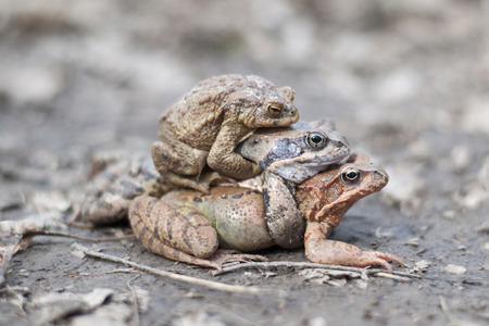 disgusting: Three frogs Stock Photo