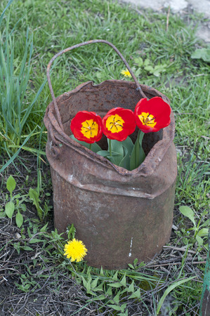 Tulips in a old bucket. photo