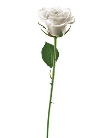 rose blanche: White Rose isol� sur blanc