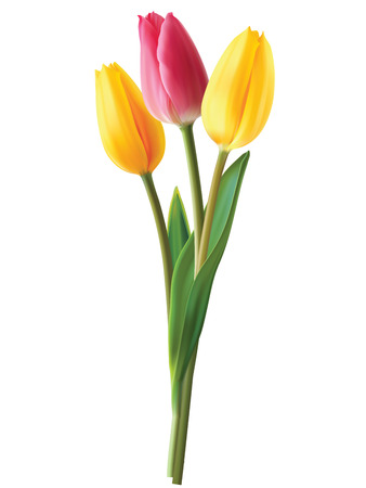 white tulip: Tulip flowers isolated. Vector illustration