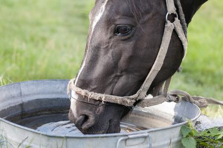caballo bebe: Caballo que bebe fuera de un canal de agua Foto de archivo