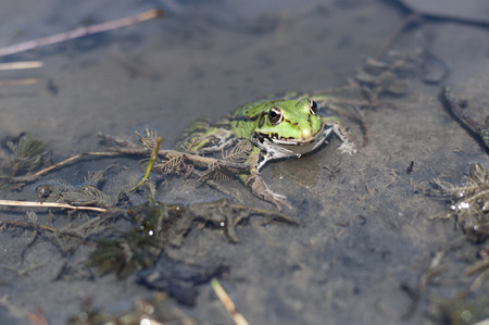 green frog: Green frog in pond