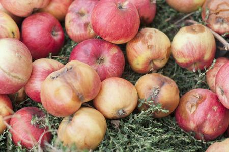 Fallen rot apples Banque d'images