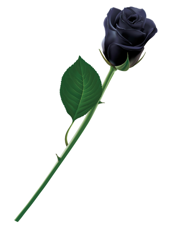 Black rose isolated. Realistic illustration