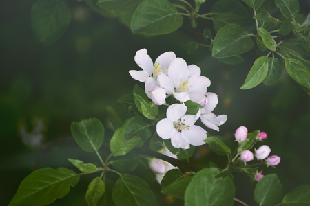Flowers of pear tree blossom in spring
