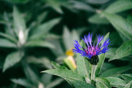 Blue cornflowers meadow close up