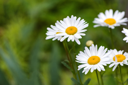 White daisy flowers on field during spring time