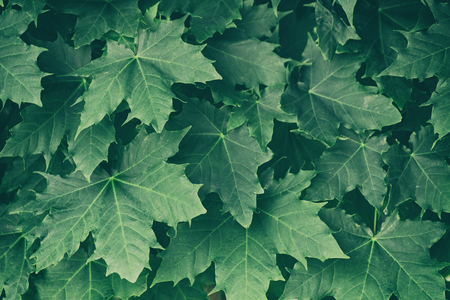 Green maple leaves on a tree branch 스톡 콘텐츠