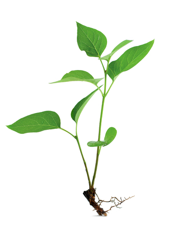 Little green plant with root on white background