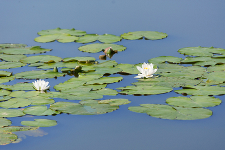 Water lily in a village pond 스톡 콘텐츠