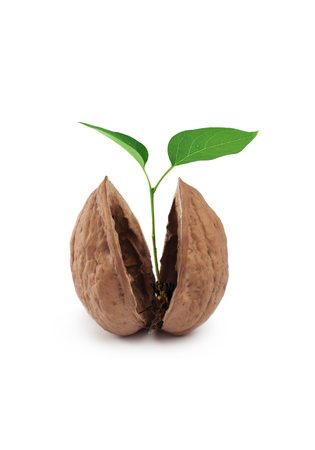 Sprout of a young walnut, isolated on a white background