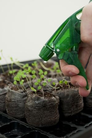 turba: Gr�nulos de turba riego de las plantas de semillero