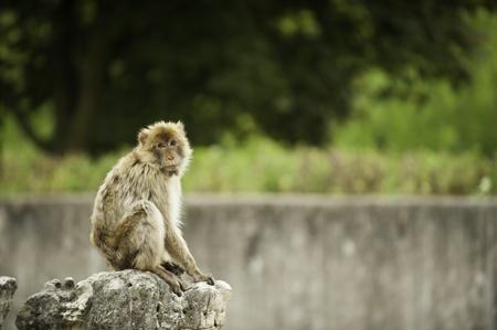 barbary ape: Barbary ape sitting on a rock