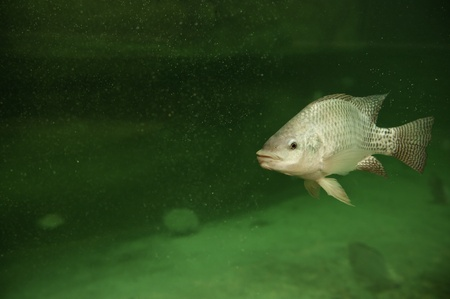 One tilapia fish swimming in a pond photo
