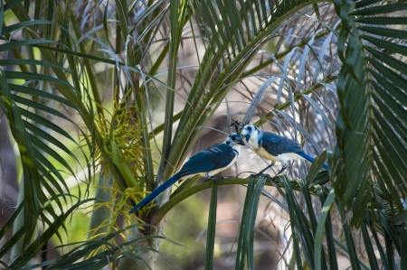 Two white throated magpie jays share a tender moment in the palm trees photo