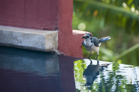White throated magpie jay stands by a pool of water with a palm tree background photo