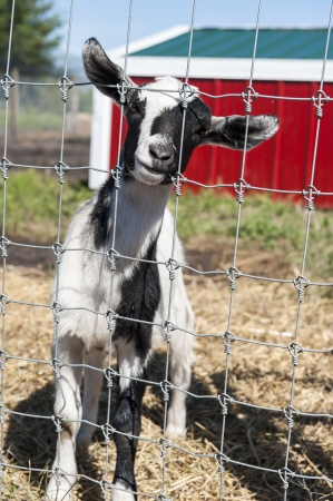 Goat standing in a farmyard with a red barn photo
