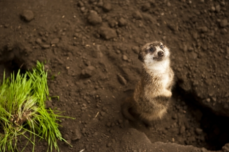 inquisitively: Meerkat standing by his hole looking inquisitively at the camera