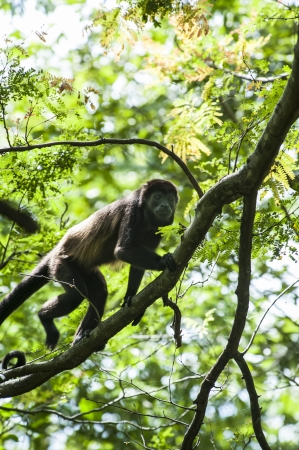 Howler monkey climbing in a tree in the rain forest canopy