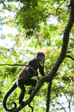 howler: Howler monkey climbing in a tree in the rain forest canopy