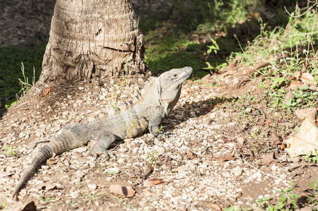 Adult Male Black Spiny-Tailed Iguana rest in the sun at the base of a palm tree Stock Photo