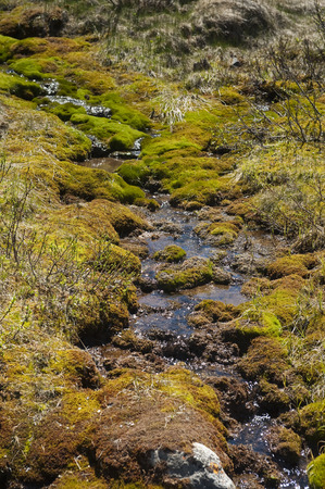 trickling: Brook trickling through moss covered rocks in early spring in the Rocky Mountains