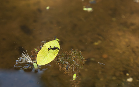 Leaf cutter ant trying to get off of a leaf floating in a pond photo