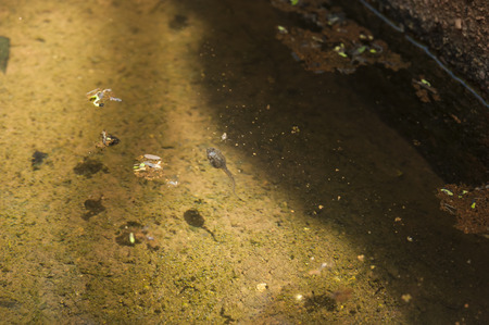 polly: Tadpole swimming in a pond in the sunshine Stock Photo