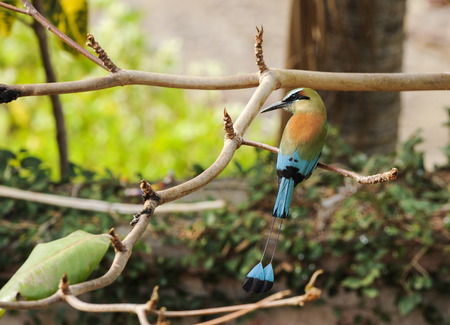 Turquoise-browed motmot, the national bird of Nicaragua, rest in an almond tree Stock Photo