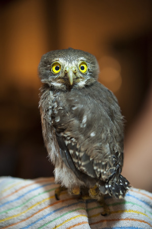Young spectacled owl sits on a blanket looking forward