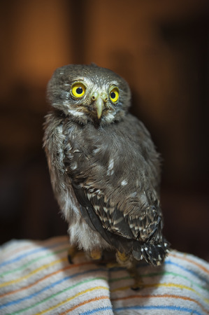 Baby spectacled owl sits on a blanket