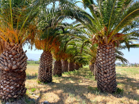 Beautiful way with a lot of green palms in a row, Kos island, Greese. Palm trees landscape.