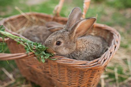 lapin: Lapin mange vert dans le panier à la ferme en plein air