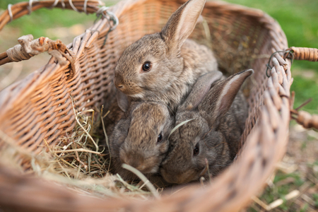 babies: Three rabbits in basket on farm outdoor Stock Photo
