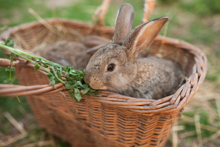 lapin: Petit lapin mange le fond extérieur vert