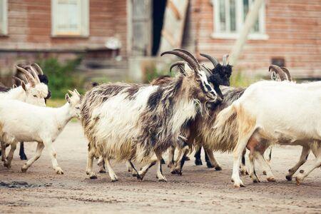 Goats walking on the farm