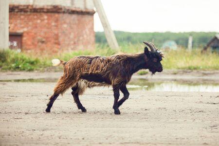 Black goat on the farm