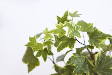 Ivy with variegated leaves, top view