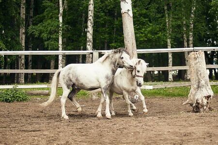 Two ponies are playing and running together